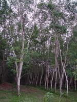 Kautschukbaum (Hevea brasiliensis)
